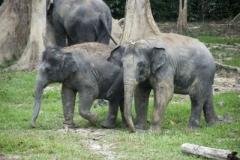8 photodune-2619681-elephants-in-malaysia-kuala-gandah-s